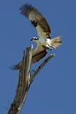 Falco di pesci Fotografie Stock Libere da Diritti