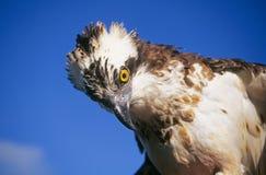 Falco di pesci o del Osprey immagini stock libere da diritti