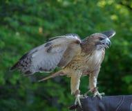 Falco di RedTailed Fotografia Stock Libera da Diritti
