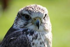 Falco di Saker immagini stock