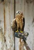 Falco di Saker (cherrug del Falco) Fotografie Stock Libere da Diritti