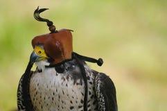 Falco di Saker con il cappuccio Immagine Stock