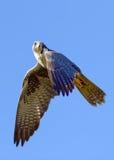 Falco di Saker in volo Fotografie Stock