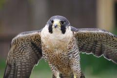 Falco di straniero 1 Fotografia Stock