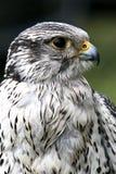 Falco di straniero Immagine Stock