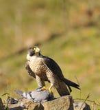 Falco di straniero. Immagini Stock Libere da Diritti