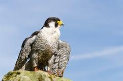 Falco di straniero Fotografie Stock