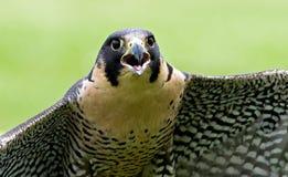 Falco di straniero Immagini Stock