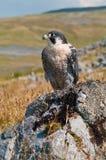 Falco di straniero (Falco Peregrinus) Fotografie Stock Libere da Diritti