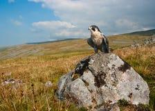 Falco di straniero (Falco Peregrinus) Immagini Stock