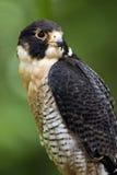 Falco di straniero (peregrinus del falco) Immagine Stock