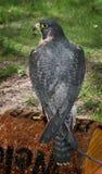 Falco di straniero (peregrinus del Falco) sulla perchia Immagine Stock