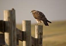 Falco di Swainson sulla posta Fotografia Stock Libera da Diritti