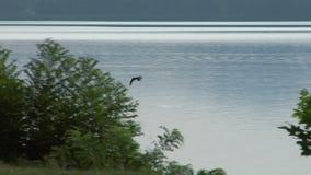 Falco di volo video d archivio