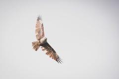 Falco di volo Fotografie Stock Libere da Diritti
