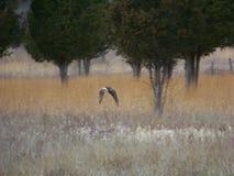 Falco di volo Immagini Stock Libere da Diritti