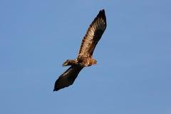 Falco di volo Fotografia Stock