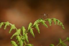 Falco di zanzara sulla felce Fotografie Stock
