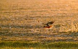 Falco durante il volo immagine stock libera da diritti