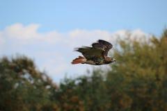 Falco durante il volo Immagine Stock