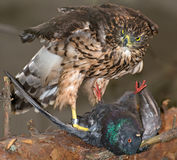 Falco e la sua vittima Immagine Stock Libera da Diritti