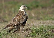 Falcão equipado com pernas áspero adulto Fotos de Stock