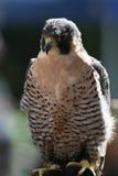 Falco fantastico Fotografia Stock Libera da Diritti