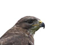 Falco ferruginoso Fotografie Stock Libere da Diritti