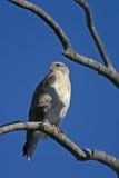 Falco ferruginoso Immagine Stock Libera da Diritti