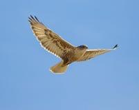 Falco ferruginoso Fotografia Stock Libera da Diritti