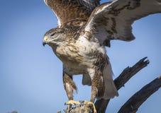 Falco ferruginoso Immagini Stock Libere da Diritti