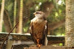 Falco ferruginoso danneggiato nella cattività Immagine Stock Libera da Diritti