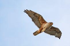 Falco ferruginoso durante il volo Fotografie Stock