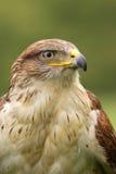 Falco ferruginoso (regalis del butea) Fotografie Stock Libere da Diritti