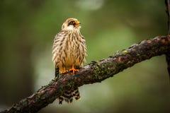 Falco fooed rosso Immagine Stock Libera da Diritti