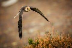 Falco fooed rosso Fotografia Stock