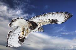 Falco fornito di gambe di massima durante il volo Fotografia Stock