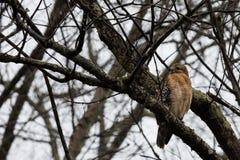 Falco giovanile del redtail Fotografia Stock