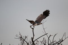 Falco grigio fotografie stock libere da diritti