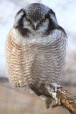 Falco-gufo nordico Fotografia Stock Libera da Diritti