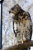 Falcão-águia coroada Imagem de Stock Royalty Free