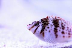FALCO hawkfish Cirrhitichthys FALCO Στοκ Εικόνα