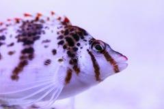 FALCO hawkfish Cirrhitichthys FALCO Στοκ Φωτογραφίες