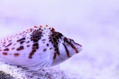 FALCO hawkfish Cirrhitichthys FALCO στοκ εικόνες