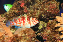Falco Hawkfish Stock Photos