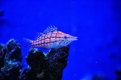 Falco Hawkfish Royalty Free Stock Image