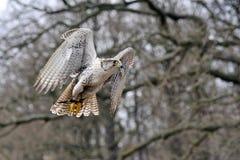 Falco hybrid Stock Photos