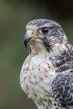 Falco ibrido Fotografia Stock Libera da Diritti