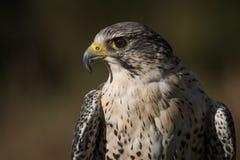 Falco ibrido Fotografia Stock