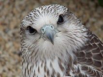 Falco ibrido Fotografie Stock